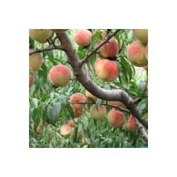供桃树 梨树 山楂树 枣树
