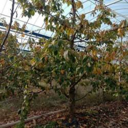 嫁接樱桃苗 占地樱桃树 3--8公分樱桃树