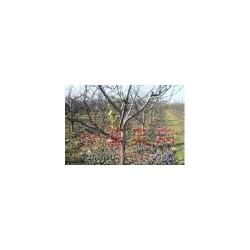 山西果树 葡萄树 梨树 枣树 苹果树